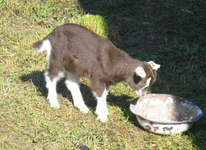 This young goat needs nourishment.  You do, too.